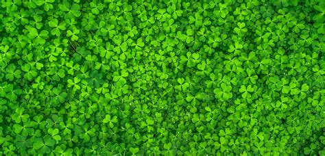 Wallpaper Clovers, Green leaves, HD, Nature, #7612