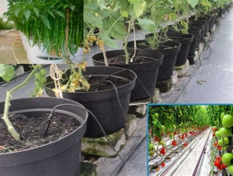 Hidroponik Fertigasi Tomat cara menanam tanaman hidroponik bibitbunga