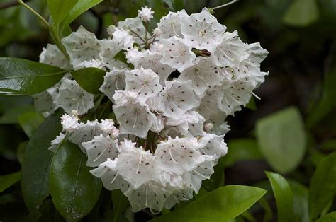 kalmia latifolia kalmia wikipedia