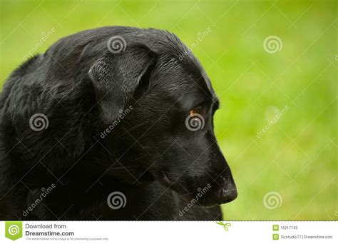 pics of black lab puppies black labrador retriever stock photos image 15217743