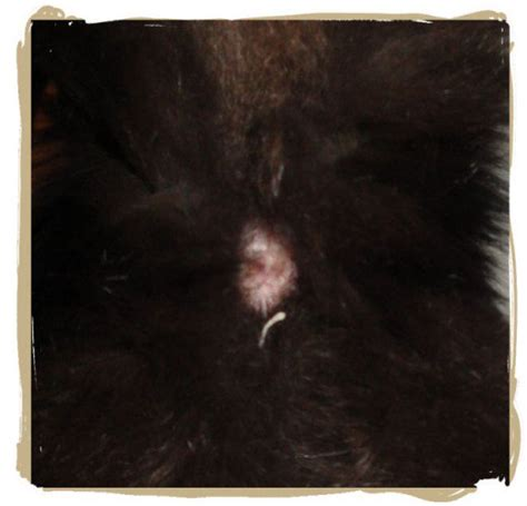 Tapeworms In Cats Stool by Identify Treat And Prevent Tapeworms In Cats
