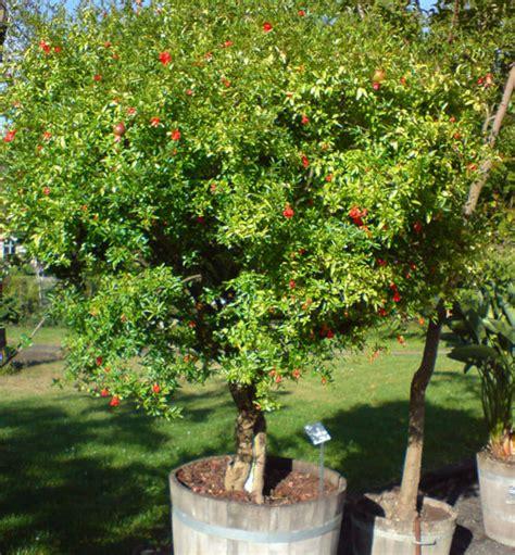 Erdbeerbaum Winterhart Kaufen 1499 erdbeerbaum winterhart kaufen erdbeerbaum auf stamm