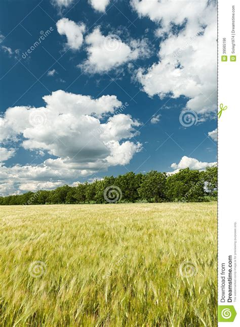blue sky landscaping green wheat field and blue sky landscape stock photo
