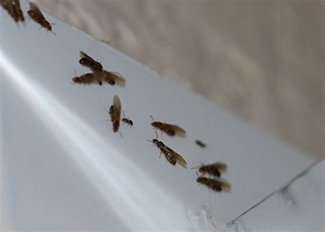 Ants With Wings In House by 20 Ants With Wings Jpg Images Frompo