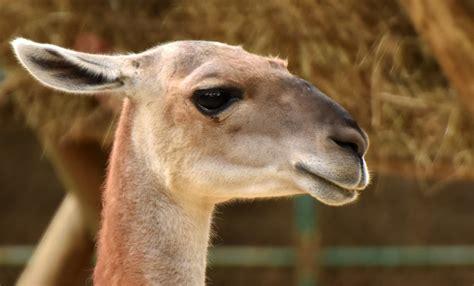 imagenes de xeso animal guanaco drupal