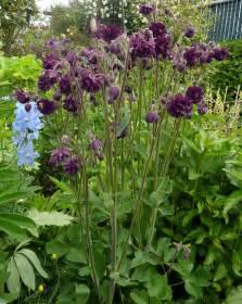 aquilegia vulgaris black barlow buy online at annie s annuals