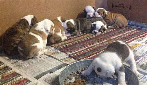 beabull puppies beabull beagle x bulldog mix info temperament puppies pictures