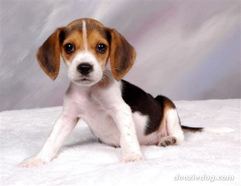 beagle puppies pictures beagle puppy 2 jpg