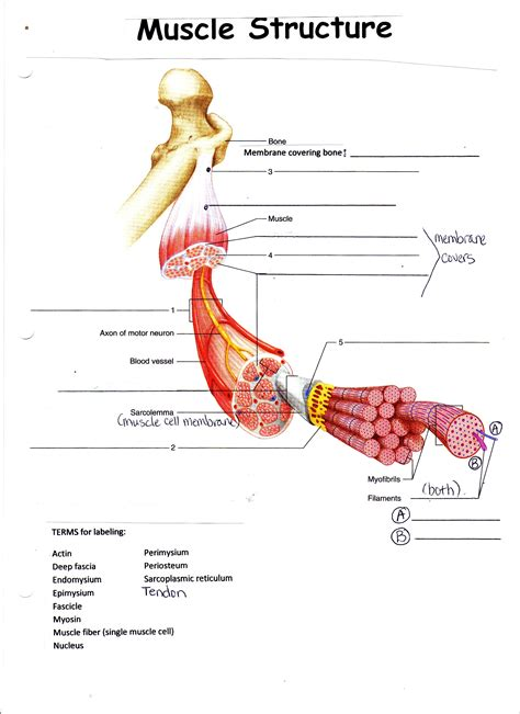 muscles diagram anatomy physiology 1