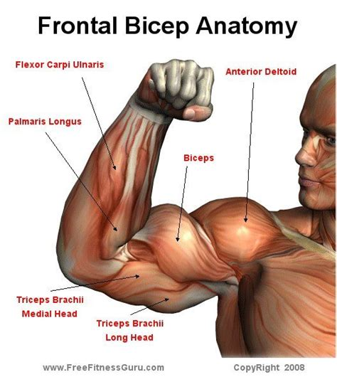 triceps diagram anatomy image organs distal bicep anatomy