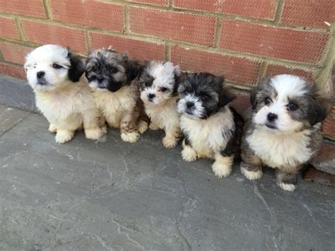 shih tzu and a bichon frise shih tzu cross bichon frise maidstone kent pets4homes