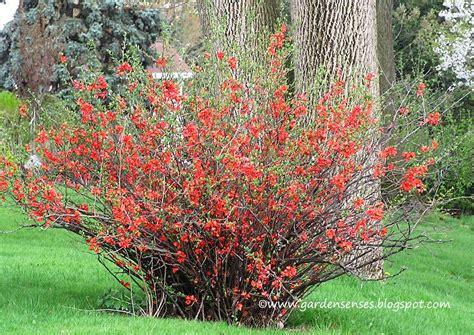 flowering quince shrub garden sense may 2011