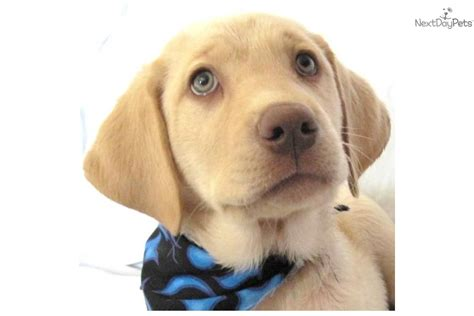 purebred lab puppies labrador retriever puppy for sale near provo orem utah 1eff4710 fa31