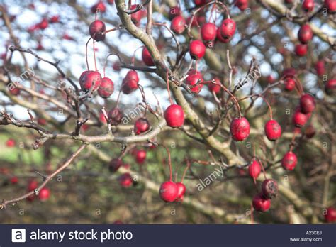 red berries on hawthorn tree in winter stock photo royalty free image 10393769 alamy