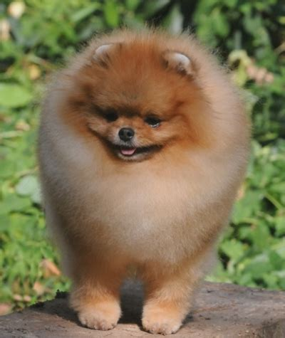 chriscendo pomeranians chriscendo pomeranians
