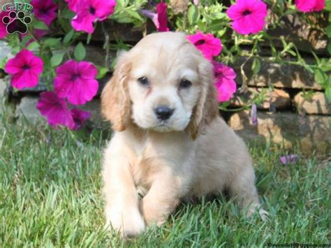 golden cocker retriever for sale in pa 111 best loving puppies for sale images on