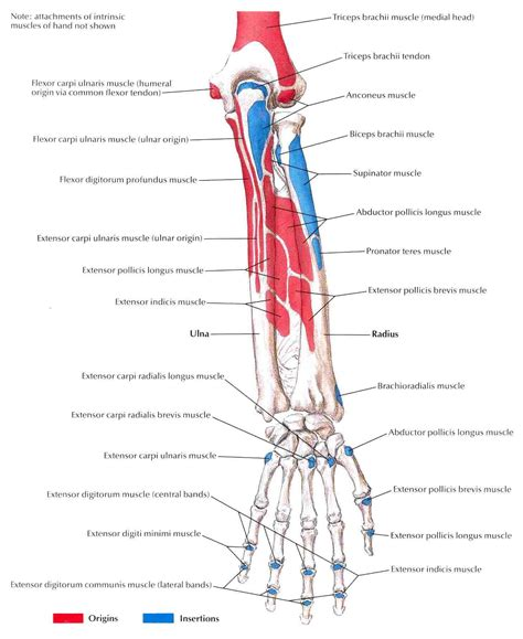 muscle origins and insertions 1572227540 bony attachments of muscles of forearm posterior view jpg 1472 215 1800 muscle anatomy