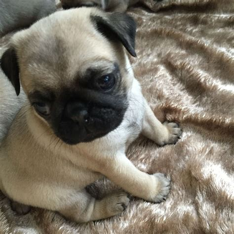 fawn pug puppies fawn pug puppy bournemouth dorset pets4homes