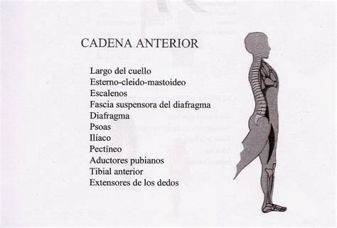 cadenas musculares anteriores 19 best images about cadenas musculares on pinterest