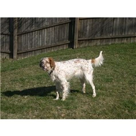 english setter gun dog puppies for sale llewellin english setter pups for sale ad 45438