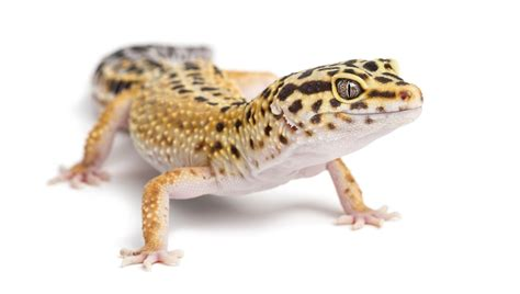 guide to leopard gecko pet care
