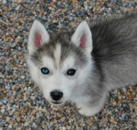 different puppies husky puppy puppies wallpaper breeds picture
