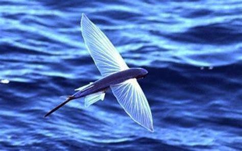 il pesce volante foto animali acquatici 8 40 tutto gratis