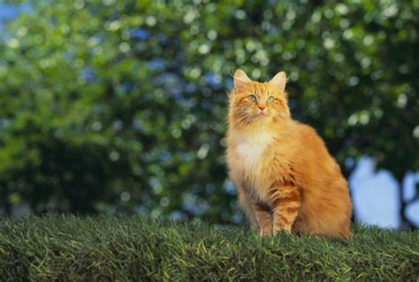 Why Orange Cats Are Usually Male   CatTime