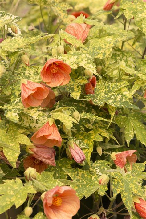 thompson s flowering maple abutilon thompsonii