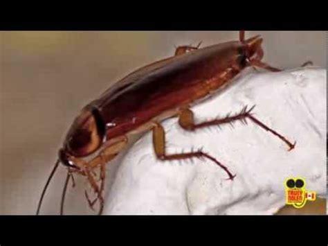 do moth balls kill bed bugs mothballs medical course doovi