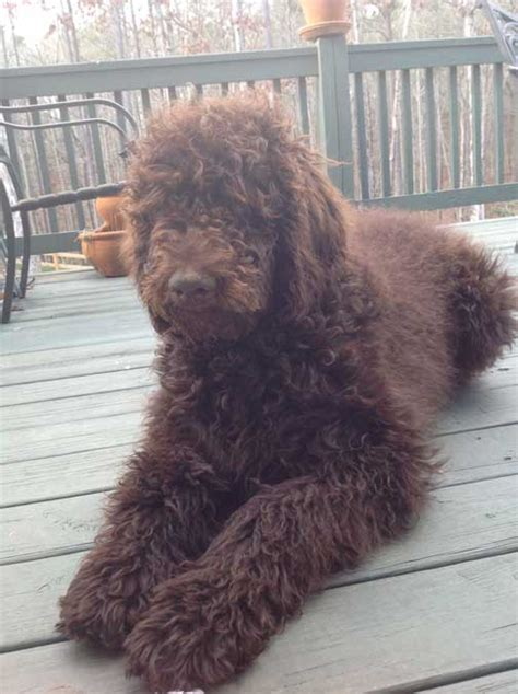 royal poodle lifespan standard poodle best for you breeds picture