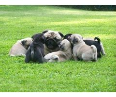 pugs for sale montana and pug puppies for sale animals gallatin gateway montana