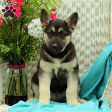 pitbull german shepherd mix puppies for sale kerala pitbull puppies for sale html autos weblog