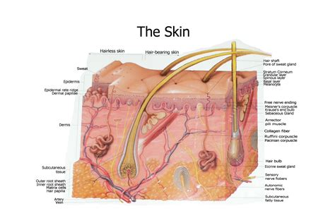 diagram of the skin free skin layers diagram coloring pages
