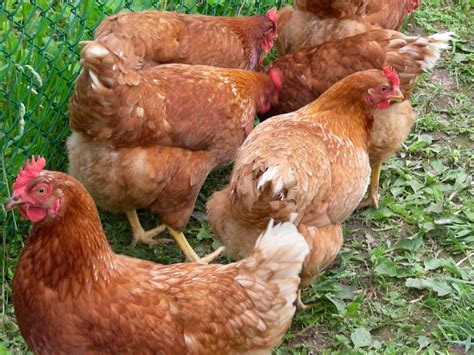 best chickens that lay eggs pictures to pin on pinterest pinsdaddy