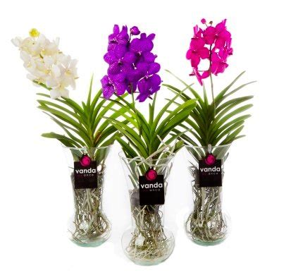 orchidee bloemen vallen af vanda diabolo an exclusive orchid with a choice of three