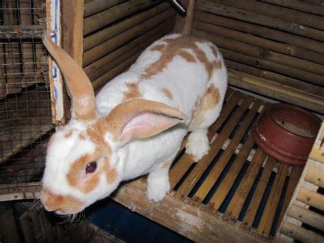 Anakan Kelinci Bulu Karpet refty rabbit shop toko kelinci lucu