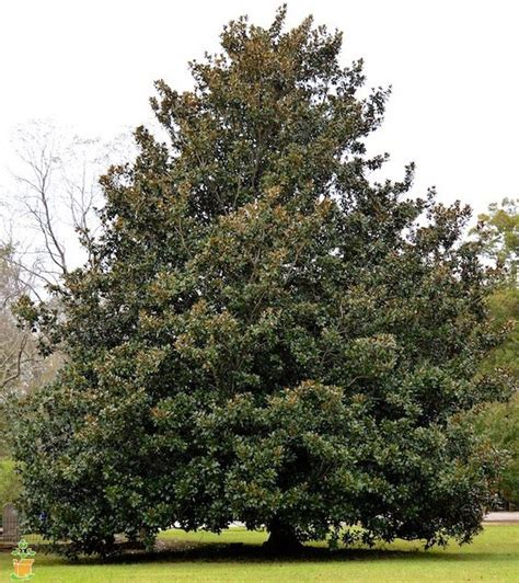 southern magnolia tree for sale the planting tree
