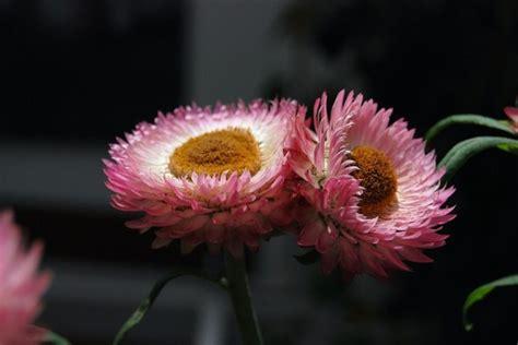 fiori di elicriso elicriso coltivazione