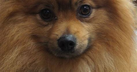 pomeranian rescue tn pomeranian rescue tn breeds picture