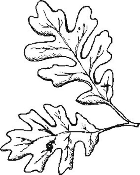 coloring pages oak leaf picture of oak leaf clipart best