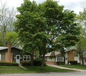American Elm Tree Growth Rate Vs Maple » Home Design 2017