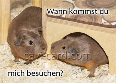 wann kommst du meerschweinchen postkarte wann kommst du mich besuchen