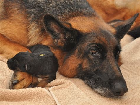 german shepherd puppies for sale in nd vollmond german shepherd puppies for sale chicago illinois area