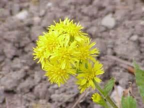 list of state flowers kansas ks state flower list of 50 state floweres of the united states