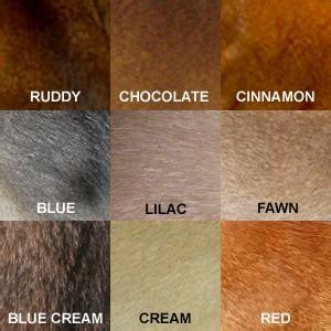ruddy color aksum abyssinians abyssinian cats atlanta ga