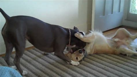 Mixer Golden Bull vs simba pit bull and golden retriever mix fight