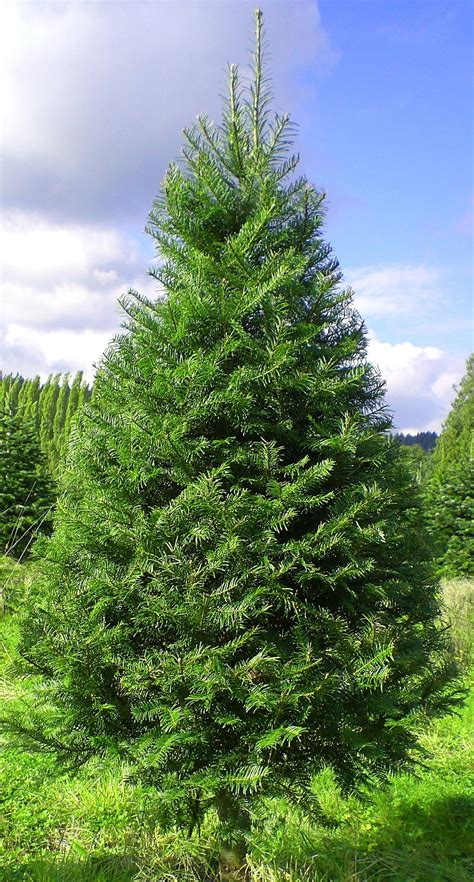 Exceptional 10ft Christmas Tree #4: Grand.jpg