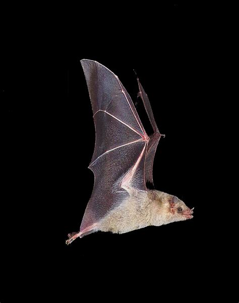 roberto bruce latest bat flying animal wallpapers