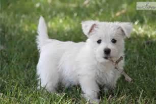 west highland white terrier puppies west highland white terrier westie puppy for sale near
